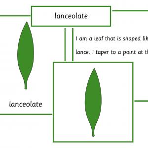 Leaf Shapes (Botany Cabinet)